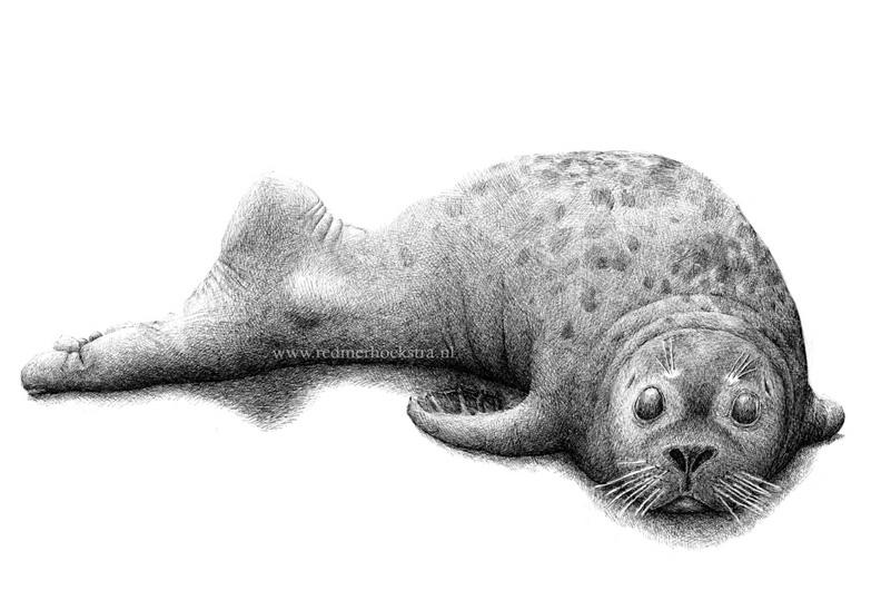 redmer hoekstra 2012 3 zeehond